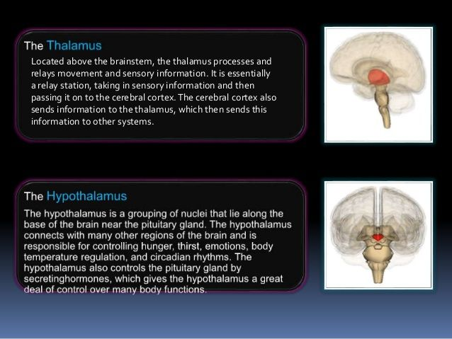 The Parts & Function of the Brain -- Thalamus ...