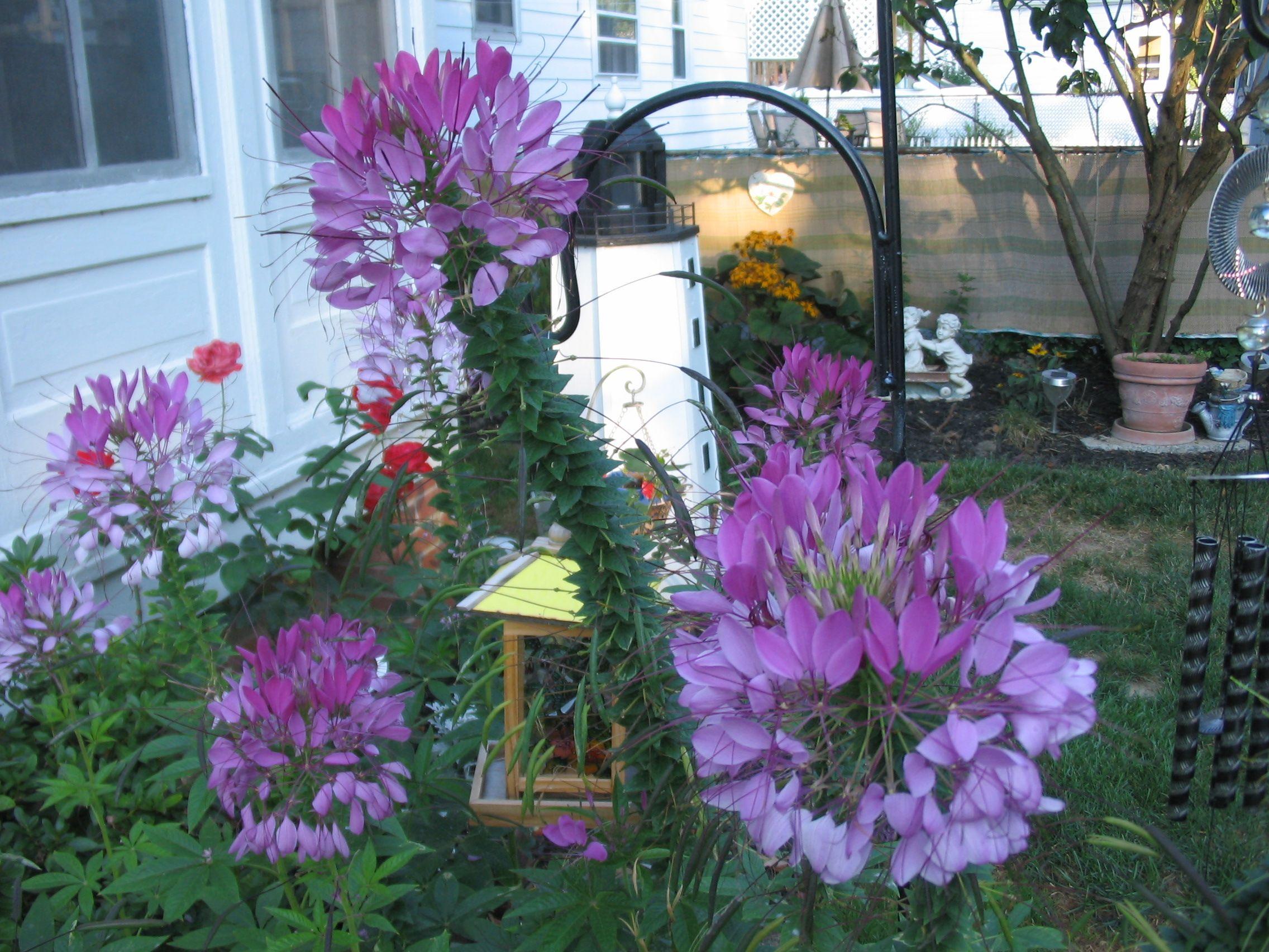Spider Flowers Unique Garden Ideas Pinterest