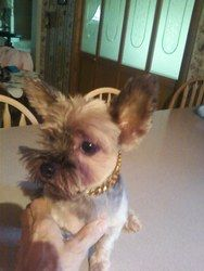 Adopt Rosie on Yorkie dogs, Yorkie, Pet adoption