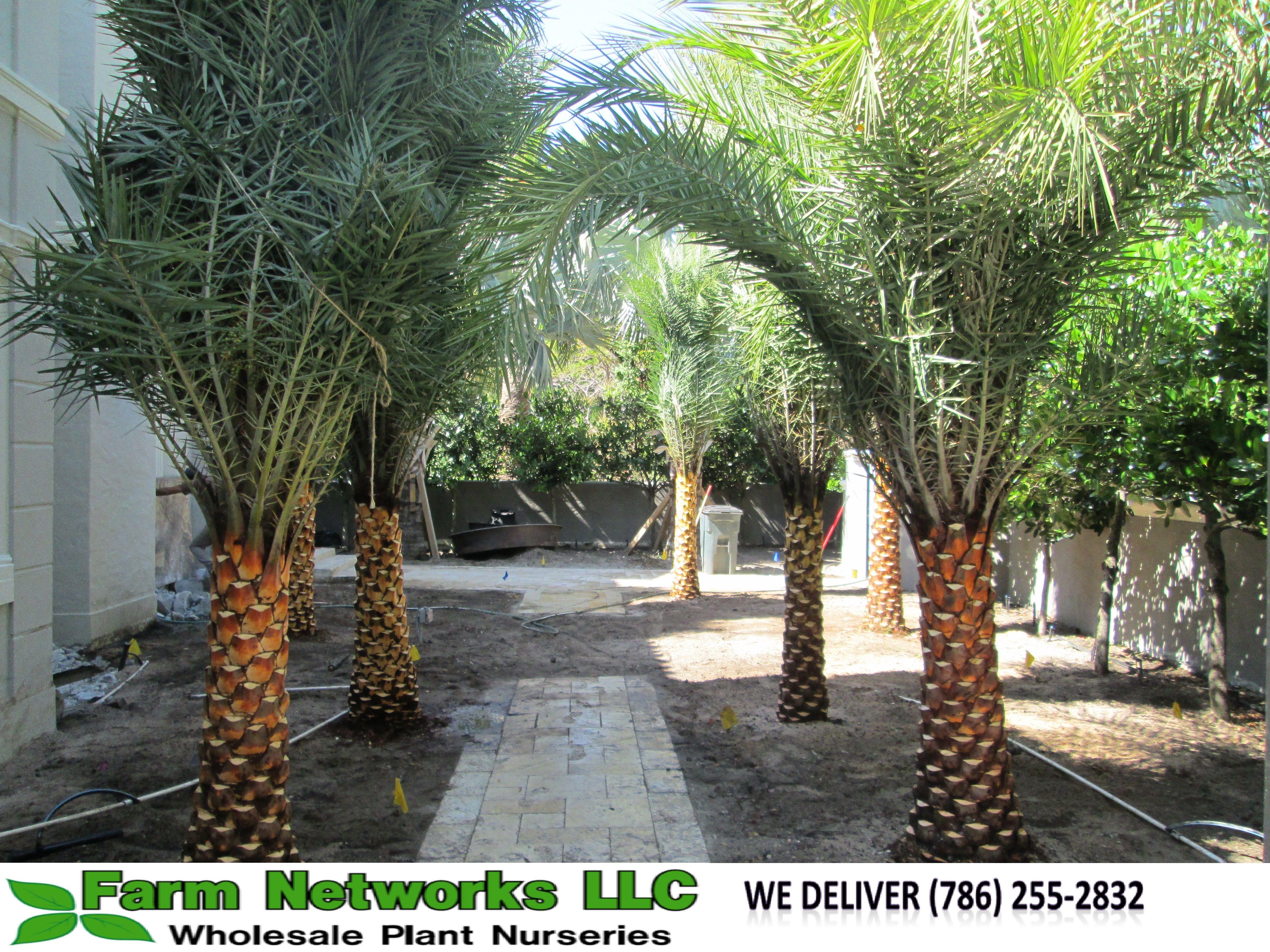 South Florida Sylvester Palm South Florida Sylvester Palm