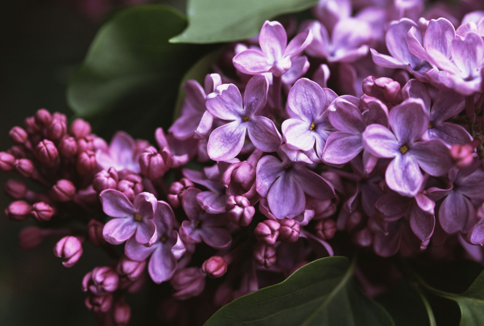 12 Facts Every Lilac Lover Should Know Common Lilac Lilac Blossom Lilac Bushes