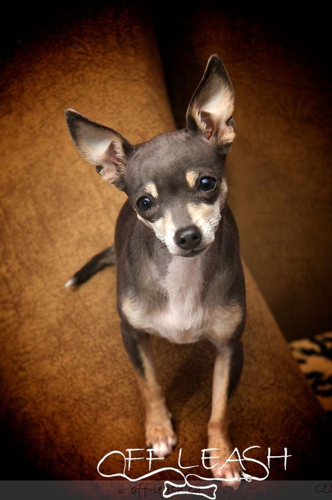 Twinkles The Deer Head Chihuahua Dog Love Chihuahua Pet