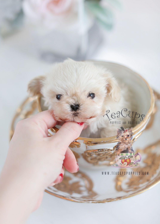 Tiny Teacup Maltipoo Puppy Teacupmaltipoo Maltipoo Designer Designerbreed Puppy Puppies Teacuppuppy Teacuppuppie Teacup Puppies Maltipoo Puppy Puppies
