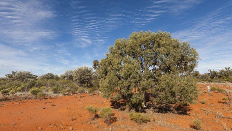 Native tree, Gundabooka National Park. Photo: David Finnegan