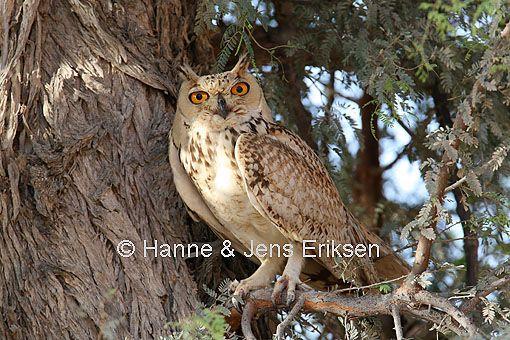 Pharaoh Eagle Owl, Bubo ascalaphus