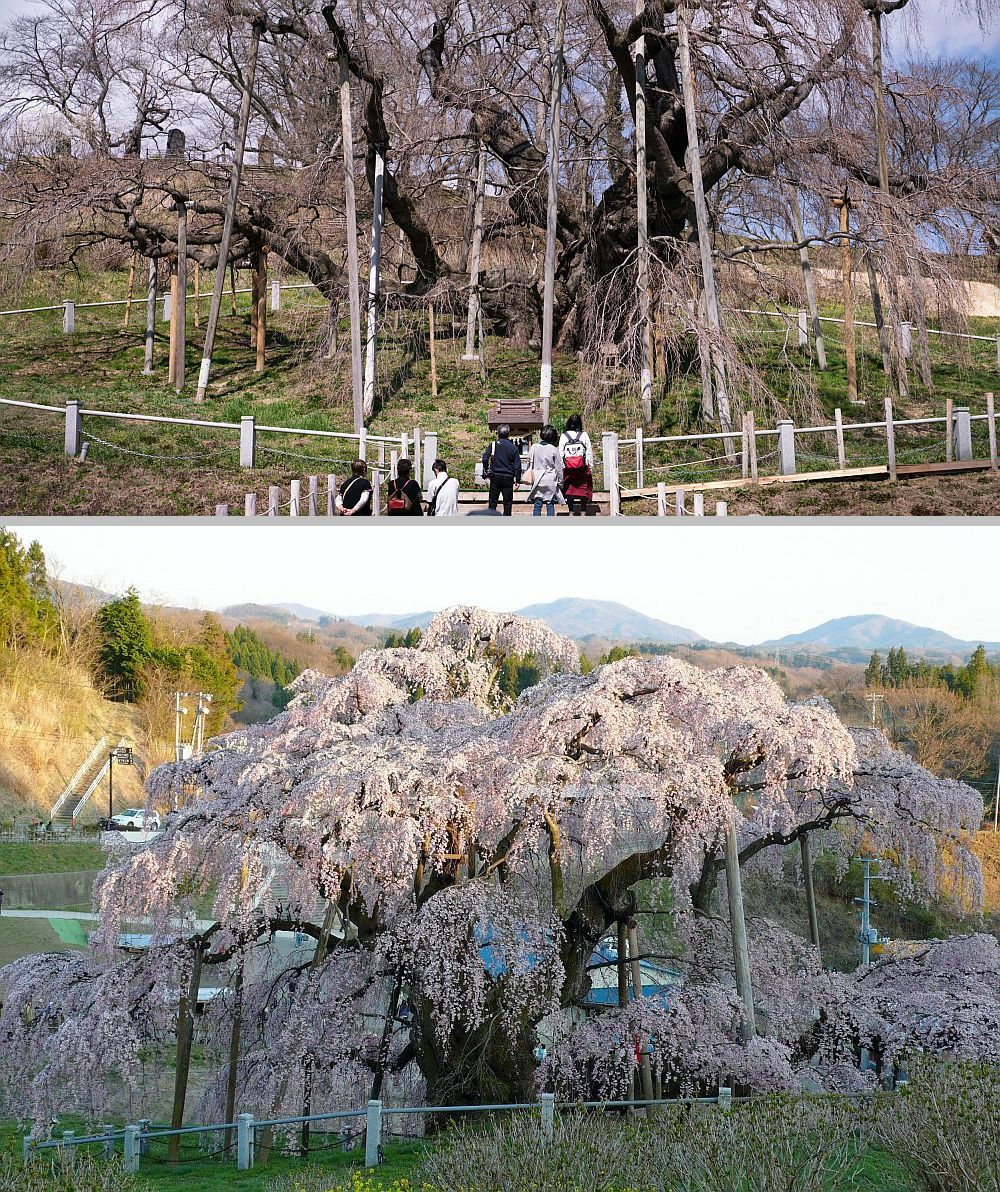 Japan S 1 000 Year Old Cherry Tree Blossoms Again Cherry Tree Japan Cherry Blossom