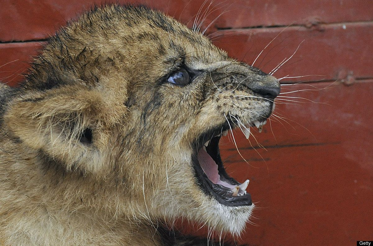 Lion Cubs Baby Elephants And Other Animal Photos Of The