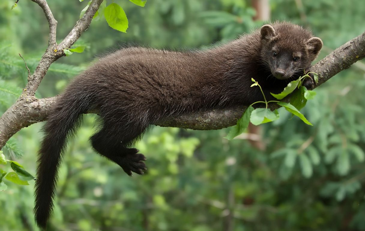 Fisher Cat (Martes pennanti). Small predator/omnivores
