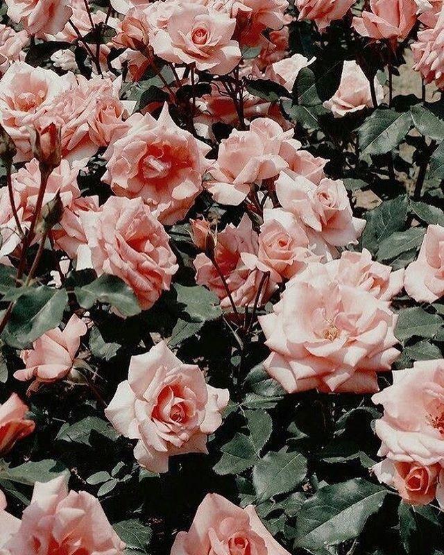 Pretty pink roses Flower aesthetic, Aesthetic roses