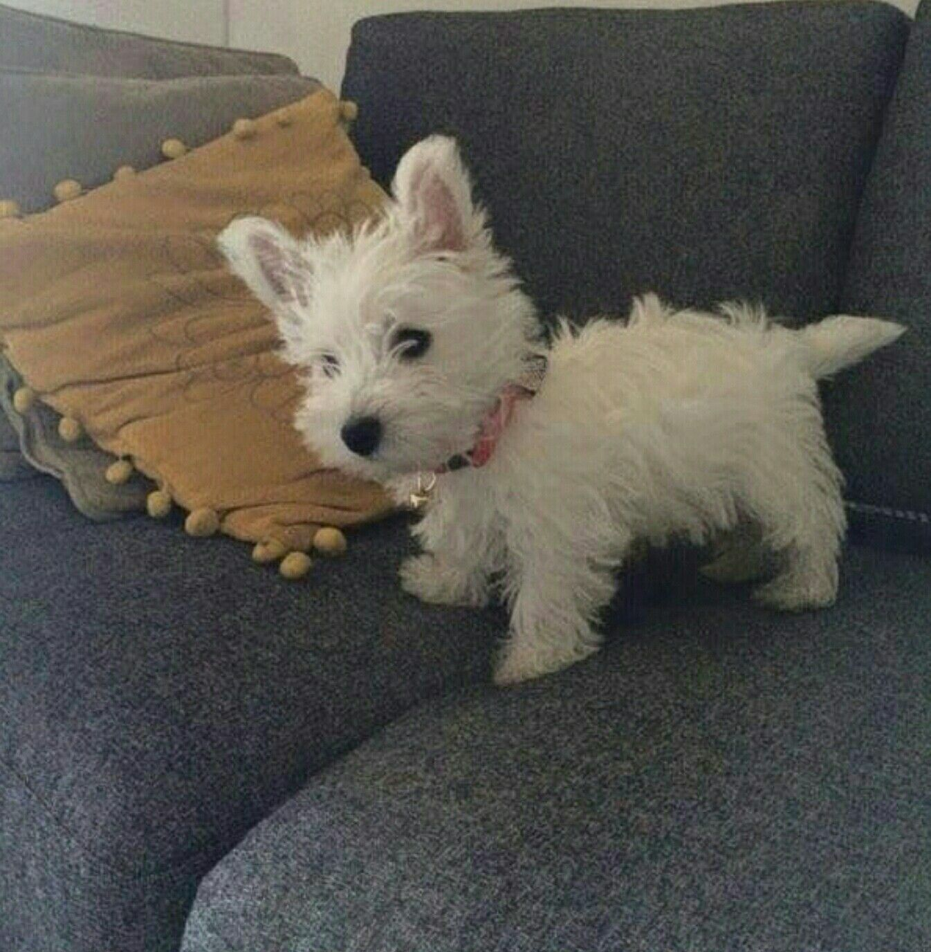 Idea By Laurie Cameron On 2 Cute Westie Puppies Westie Dogs