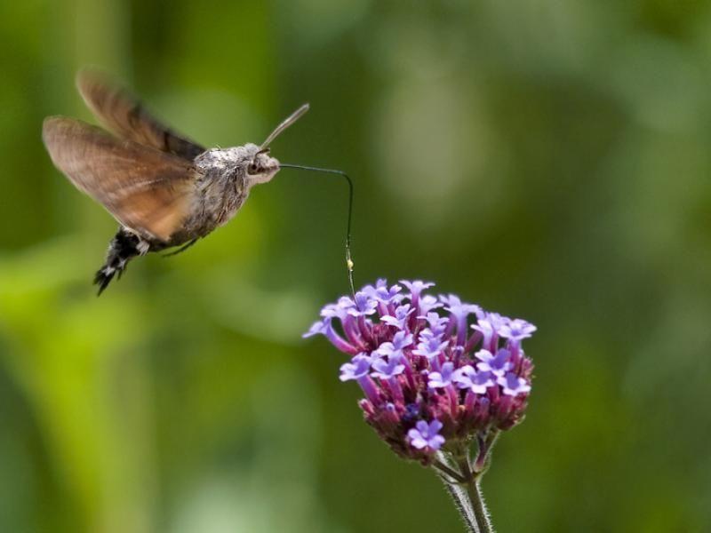 Fruczak Golabek Czyli Krajowy Koliber Hawk Moth Moth Hummingbird Moth