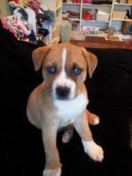Image Result For Boxita Dogs Boxer Mix Puppies Boxer Dogs Dog
