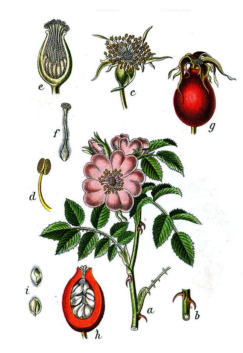 привлекает картинки с изображениями растений плодов и цветов хотя каждый выход