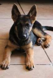 Liam German Shepherd Dog Dog Yuba City Ca German Shepherd
