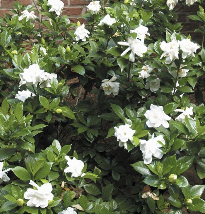 garten gestaten ideen gartenpflanzen gardenien strauch garten - gartenpflanzen