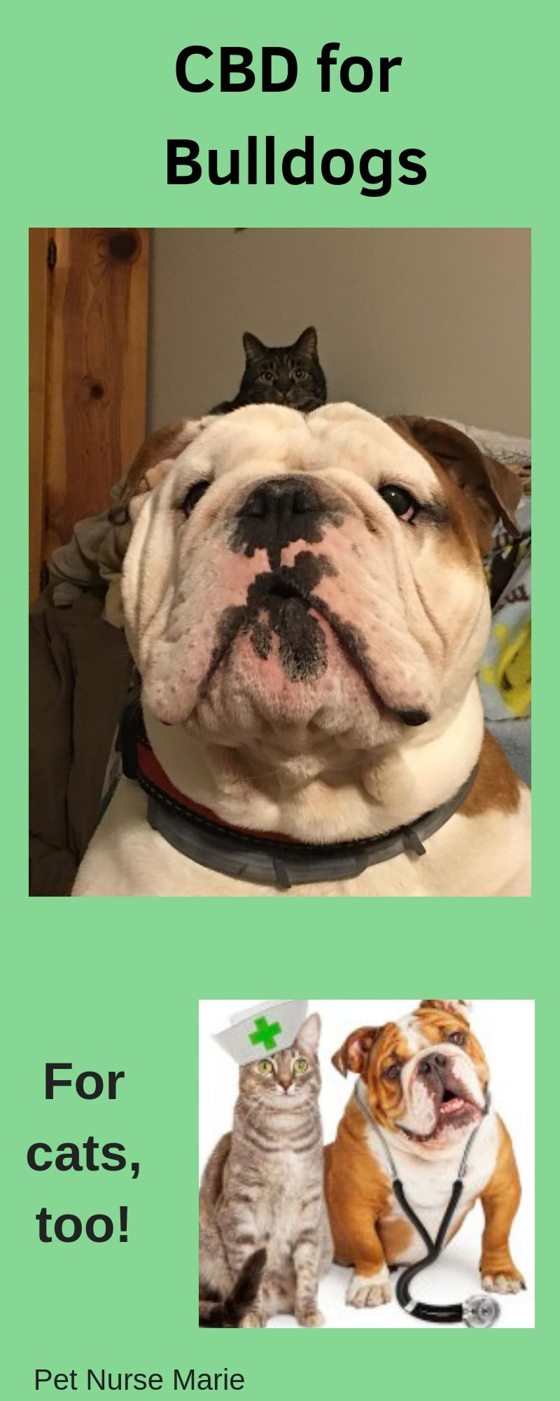 Bulldog Guide Breed Temperament Health Info Dogs Dog Breeds