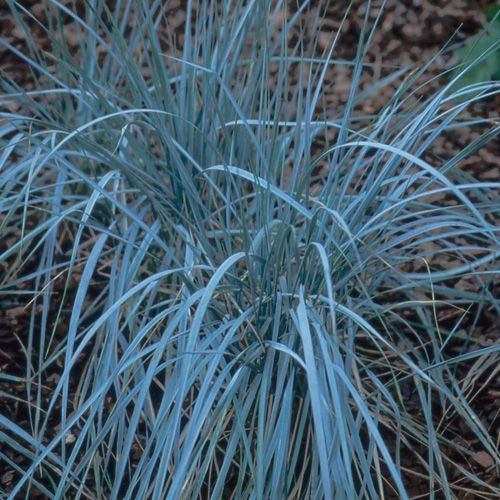 Elymus magellanicus chiendent pectin elymus de for Blue ornamental grass varieties