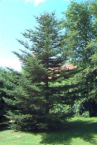 Abies Fraseri Fraser Fir Southern Balsam Fir Plant Database
