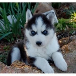 Cute And Adorable Husky Puppies For
