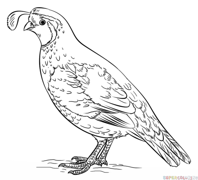 How To Draw A California Quail Step By Step Drawing Tutorials For