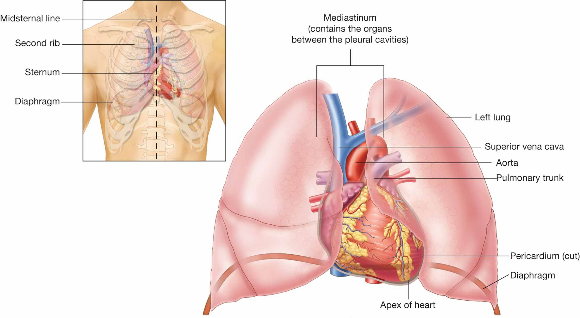 Location Of The Heart In The Chest Cavity Torax
