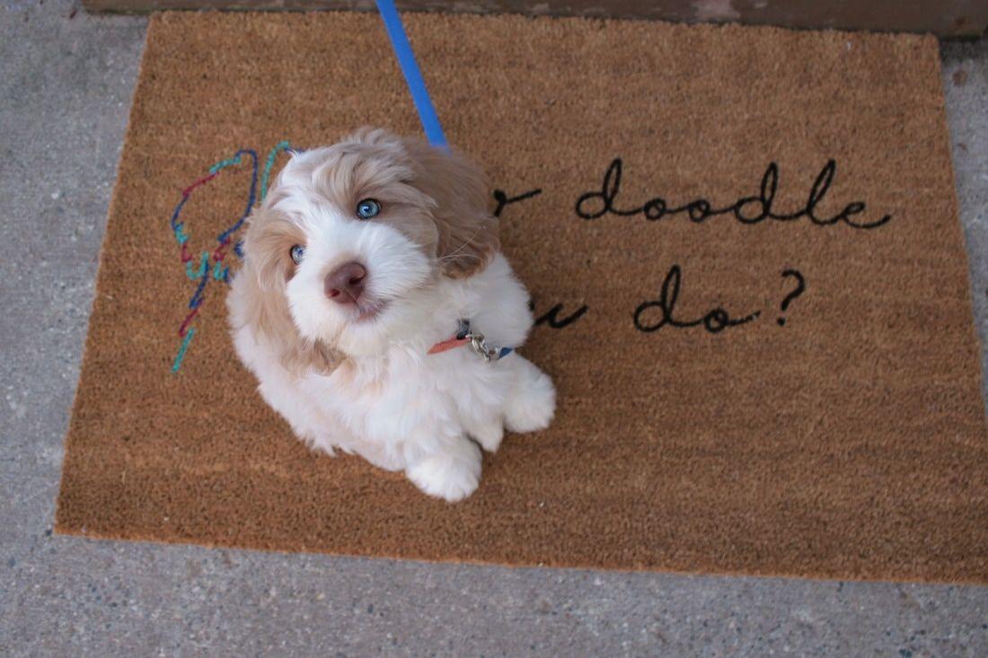 Australian Labradoodle Puppy With Hazel Blue Eyes Labradoodle