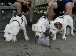American Bulldog Puppies For Sale In Pa American Bulldog Puppies