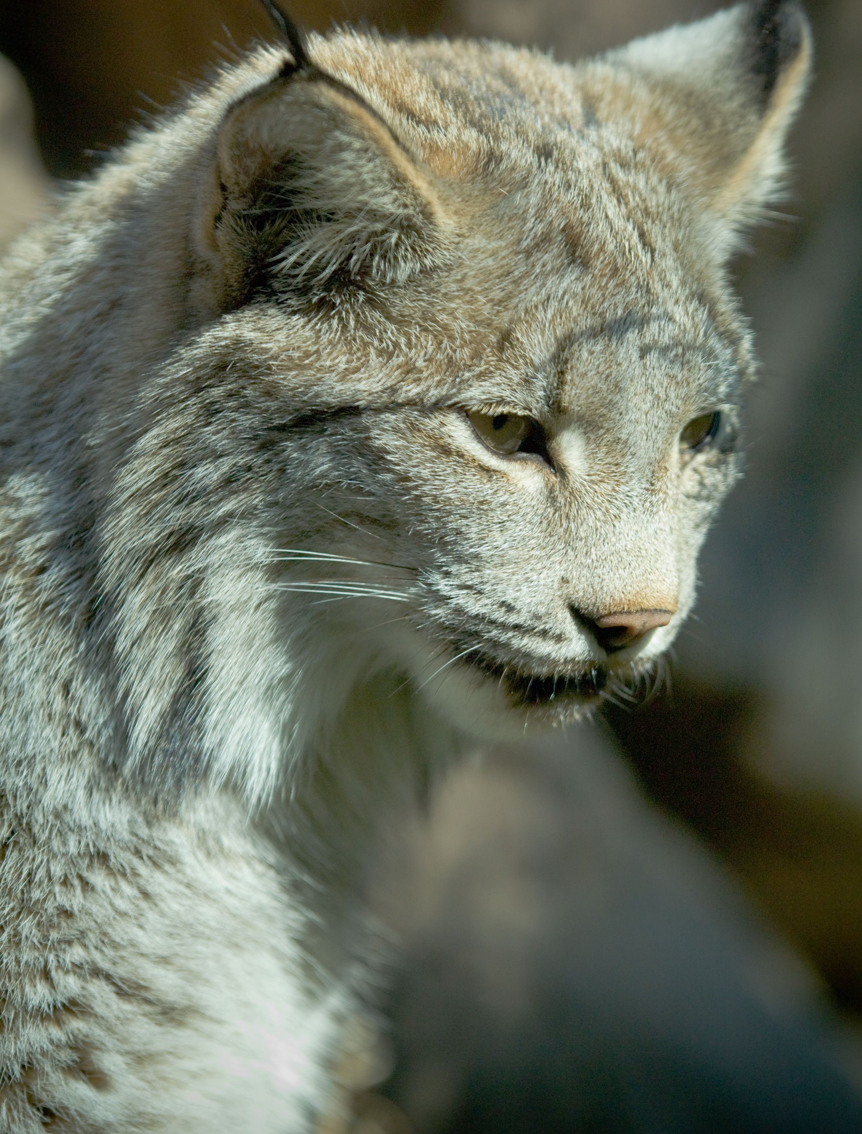 Lynx communicate using sounds similar to domestic house