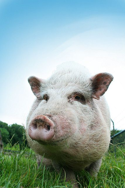 Symbolic Meaning Of Pigs Pigs Pinterest Animal