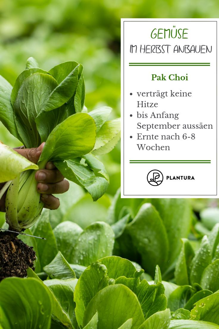 Gemüse im Herbst anbauen: Die 10 besten Pflanzen für die Nachkultur Gemüse im Herbst anbauen: Pak Choi. Wir zeigen Euch die Top 10 Gemüsesorten für den Anbau im Herbst! Mehr dazu bei Plantura. #gemüsegartenanlegen