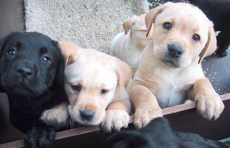 Labrador Pups Ohhh I Want One Look How Cute They Are Welpen Labrador Niedliche Welpen