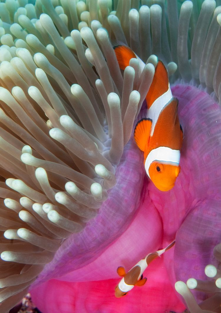 By Scotty Graham Indonesia Lombok Underwater It S A Real Life Nemo Clown Fish Ocean Creatures Sea Animals