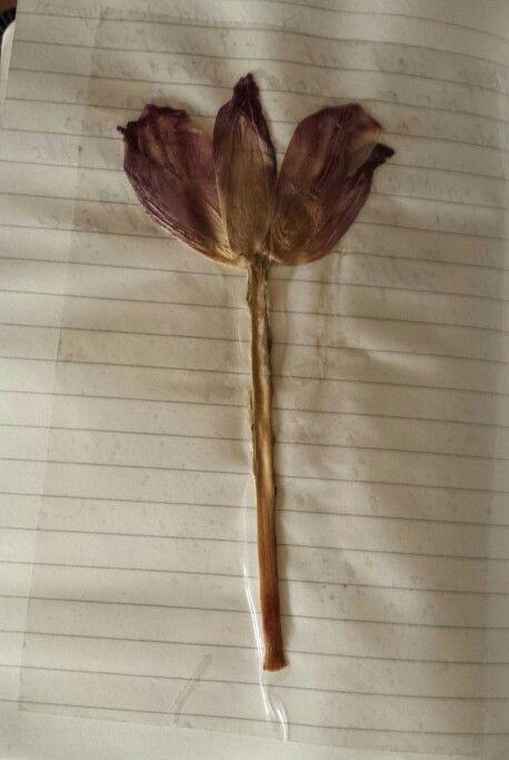 Tulip dry flower in diary