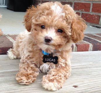 Maltipoo puppies for sale | Pocketpoo's Adorable M