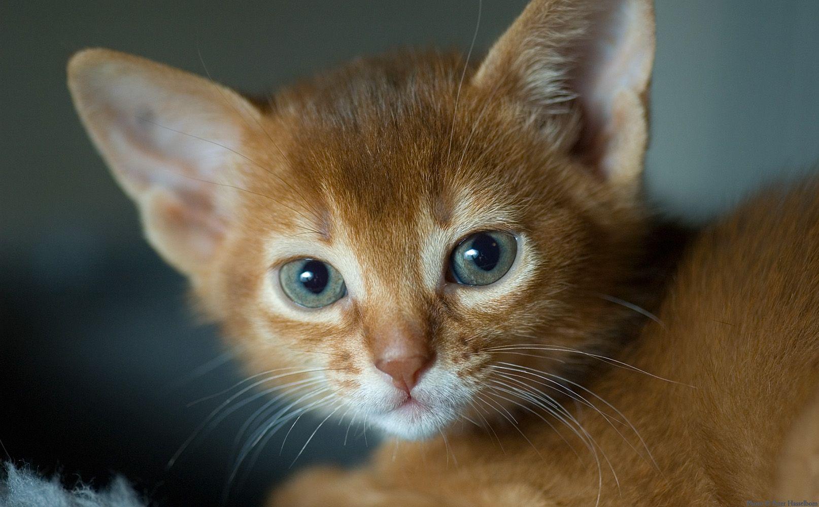 They so cute Kittens cutest, Fancy cats, Cat breeds