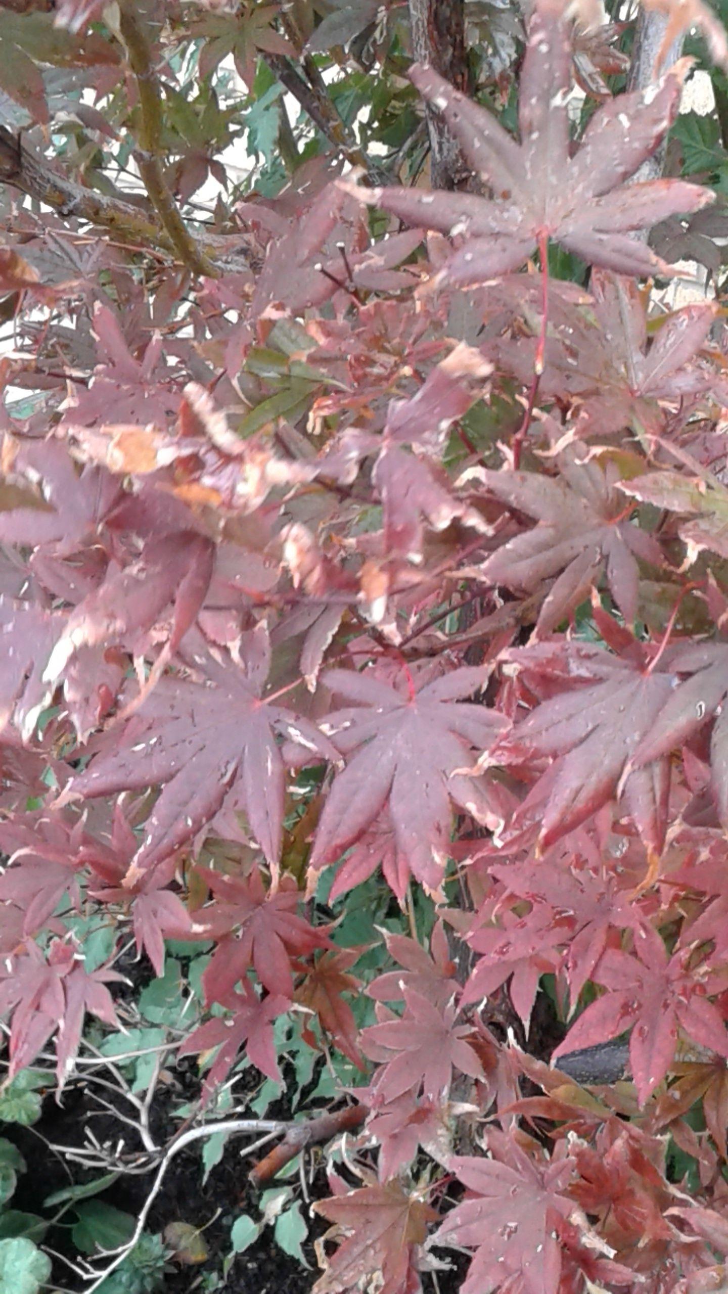 Acer Palmatum Atropurpureaum Redleaf Japanese Maple Zone  25 Ft Width 15 25 Ft