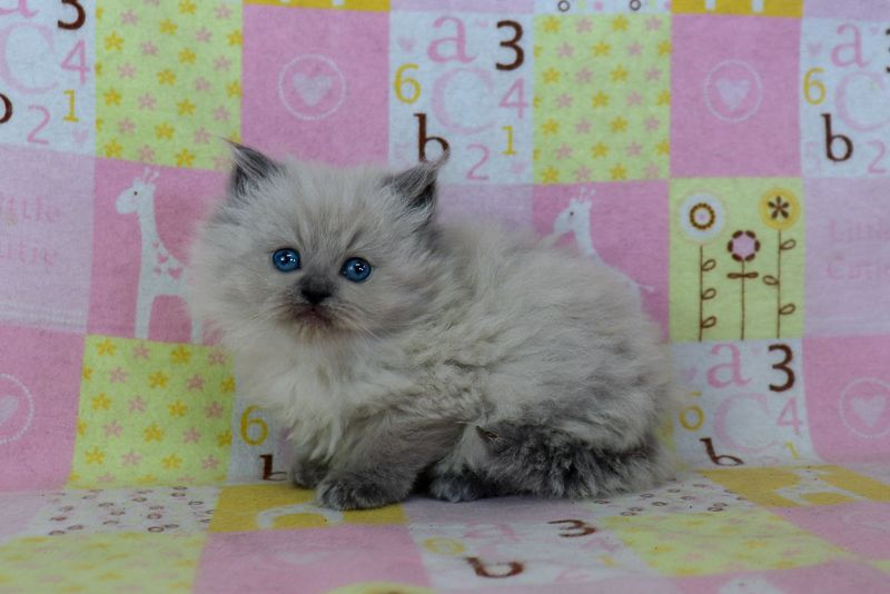 Ragdoll Kittens for Sale Near Me Buy Ragdoll Kitten in
