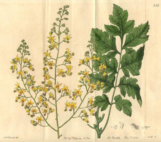 A faj kettős latin neve:Koelreuteria paniculata Magyar név:csörgőfa Család:Sapindaceae Alcsalád: Sapindoideae Rend:Sapindales Életforma:M   Termés:tok