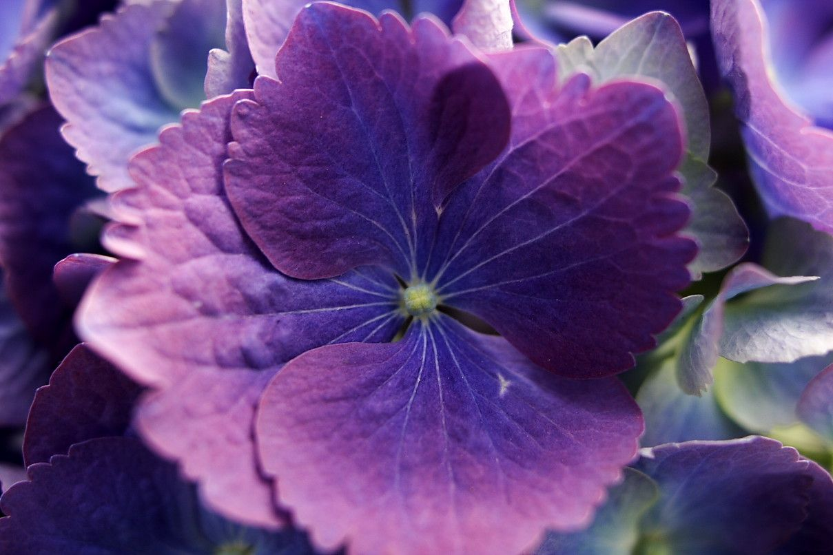 Photo Gallery Blue Purple Flowers