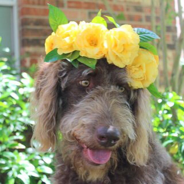 Wonderful Labradoodle Anime Adorable Dog - 538b6ddae33f9918325399921ce9bb1f  Graphic_766535  .jpg