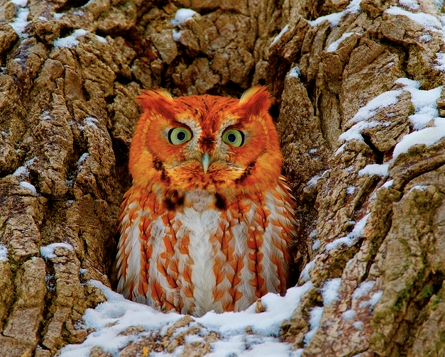 Western Screech Owl- Beautiful color! | Eastern screech ...