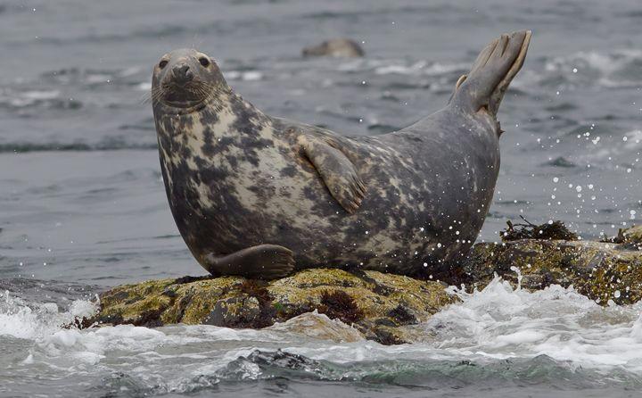 """Résultat de recherche d'images pour """"grey seals"""""""