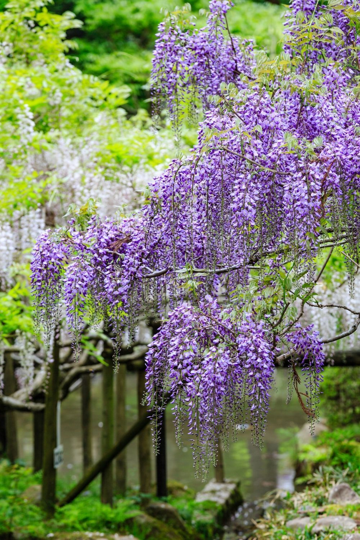 Wisteria Lavender Falls Vine Form White Flower Farm Plants Flowers