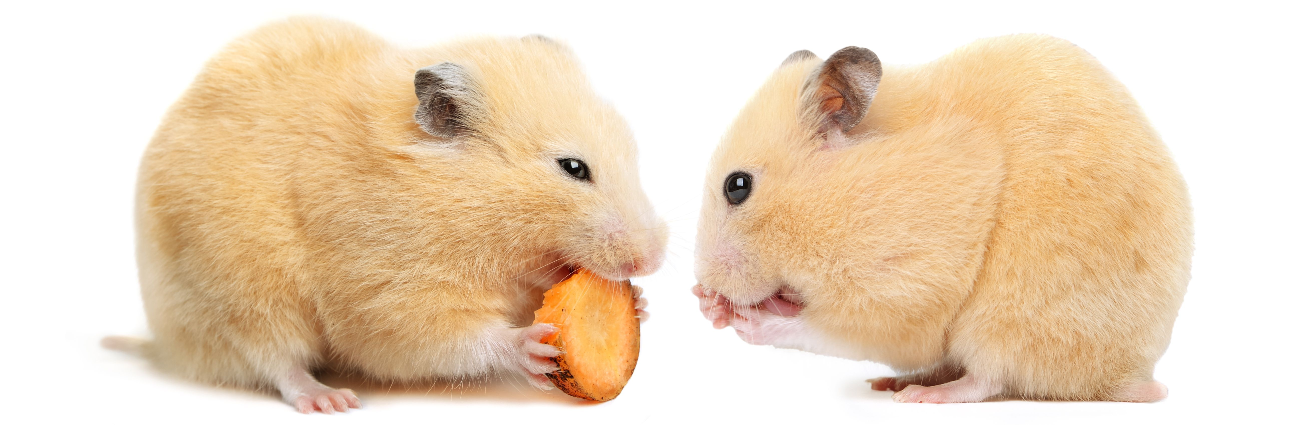 72 Cute And Funny Hamster Names For Males And Females Hamster