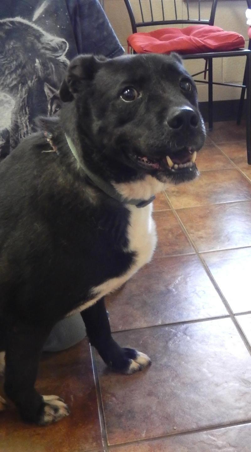 Adopt Mace On Black Labrador Retriever Black Labrador Labrador Retriever Dog