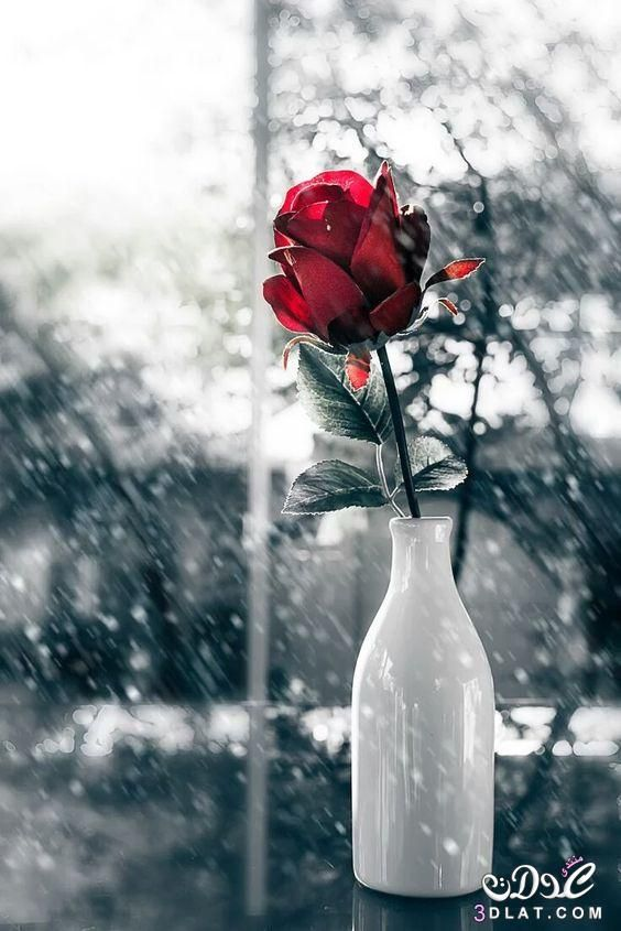 احلى صور ورود 2019 جوده عالية صور زهور منوعة اجمل صور ورد ملونة 2019 Color Splash Red Black And Red Roses Color Splash Photography