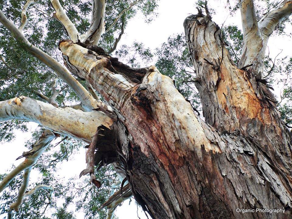 Beautiful Gum Tree At Sydney Royal Botanic Garden Eucalyptus Tree Tree Botanical Gardens