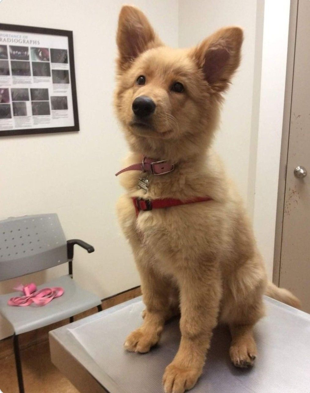 German Shepherd Golden Retriever Mix Shepherd Puppies Mixed Breed Dogs Retriever Puppy