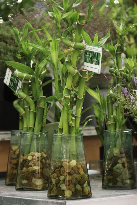 Bamboo plant at meijer stores sharp looks by acacia for Indoor gardening retailers
