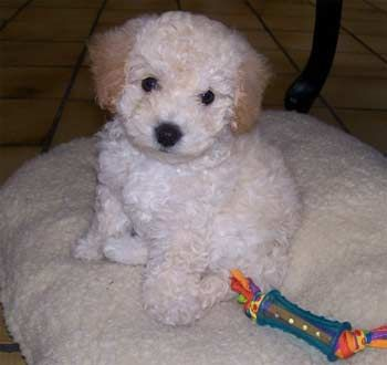 Bich Poo Bich Poos Breed Poodle Mix Dogs Very Cute Puppies Poochon Dog